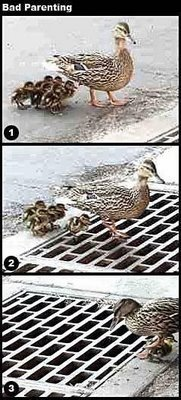 Mother Duck Loses Babies