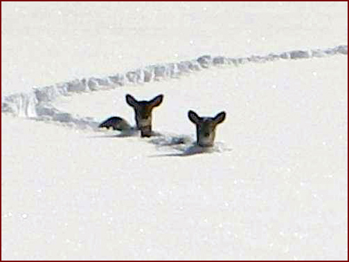 Deer Up to their Chests in the Snow