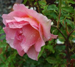 Pink rose with raindrops on the petals.