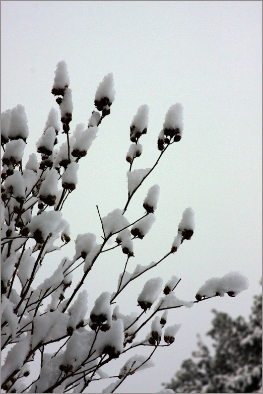 Snowy Rose of Sharon - by Kelly A. Harmon