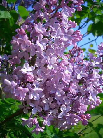 Lilacs in the Front Yard
