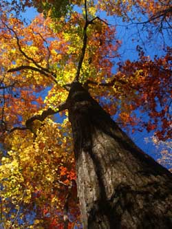 Photo of a Maple Tree in the Fall with leaves changing colors.
