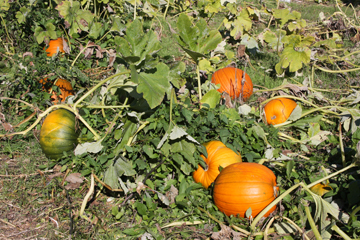 Pumpkins - Photo by Kelly A. Harmon