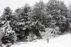 Trees Covered in Snow 1 - Photo by Kelly A. Harmon