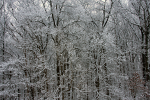 Trees Covered in Snow 2 - Photo by Kelly A. Harmon