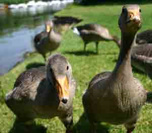Two inquisitive ducks - Photo Copyright Peter Elvidge found at Dreamstime Stock Photos