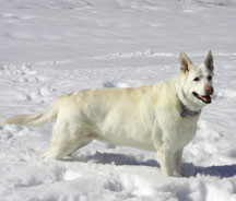 Grace, a solid-white German Shephard, stands in the snow.